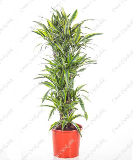 4'lu Limon Drachenbaum Saksı Çiçeği C-SAK142