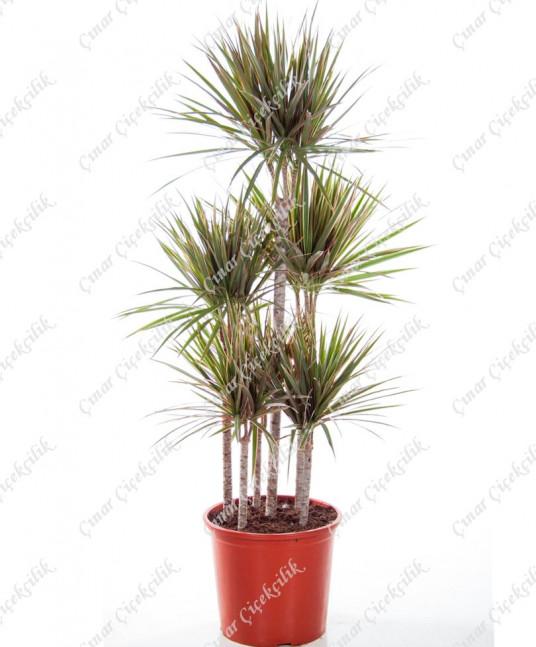 5'li Drecina Turuncu Beyaz C-SAK152