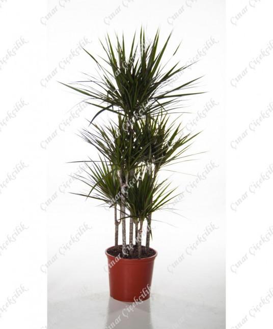 5'li Yeşil Drecina Saksı Çiçeği C-SAK159