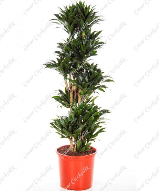 5'li Drachenbaum Saksı Çiçeği C-SAK144