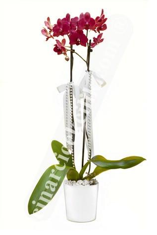 Çiftli Pembe Sevgiliye Orkide C-OR160
