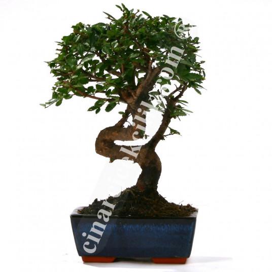 Bonsai Çin Örmesi Ağaç