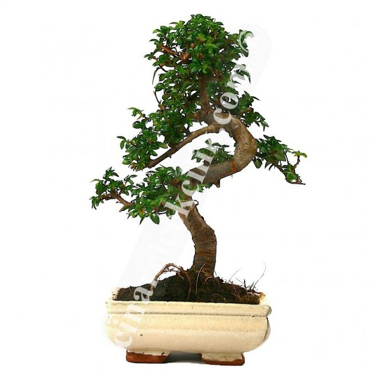 Çin Örmesi Bonsai