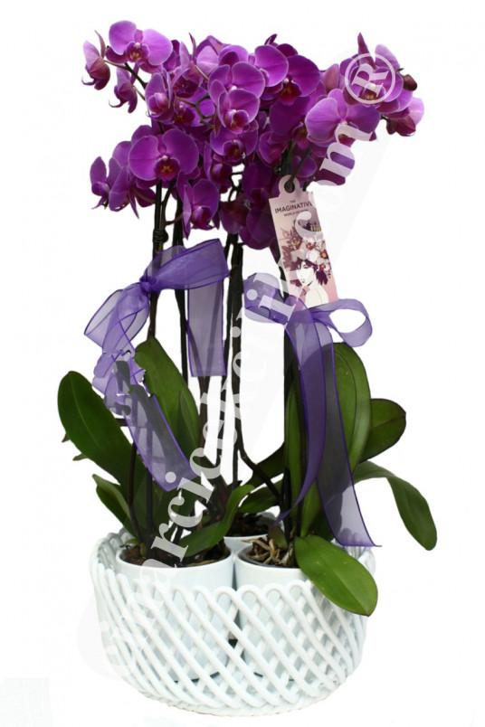 Altı Köklü Pembe Orkide  C-OR125