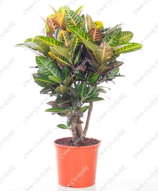 Anaç Kraton Saksı Çiçeği C-SAK146