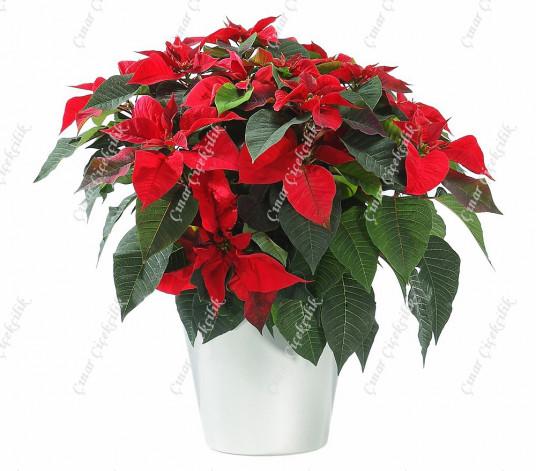 Büyük Kırmızı Atatürk Çiçeği C-SAK134
