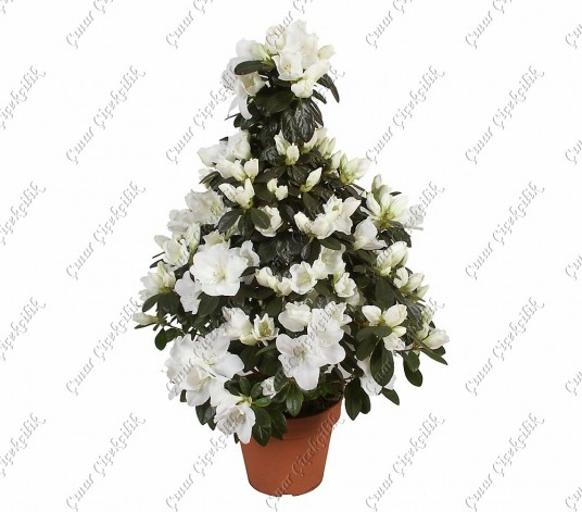 Beyaz Ağaç Açelya C-SAK118