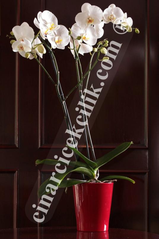 Beyaz İkili Orkide Çiçeği C-OR153