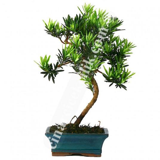 Bonsai Linex Ağaç