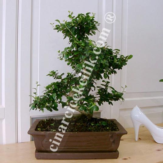 Bonsai Ağaç Carmona