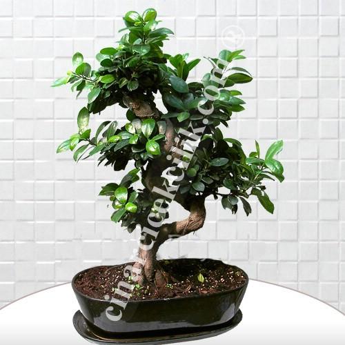 Bonsai Ginseng Ağacı