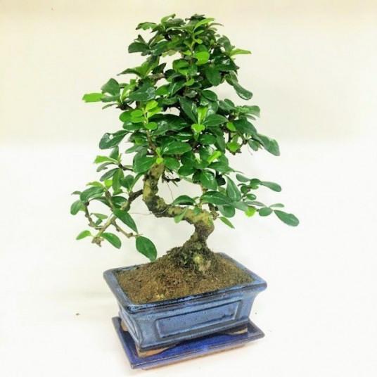 Zelkova Bonsai Ağaç Kayalı
