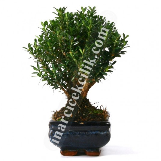 Buxus Bonsai Ağaç (Orta Boy)