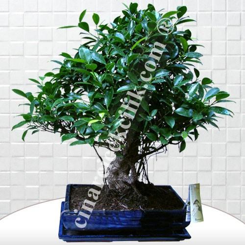 Büyük Boy Ficus Bonsai