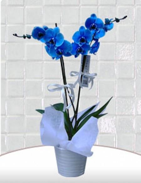 Mavi Orkide  C-OR8965