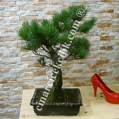 Cam Bonsai Ağacı