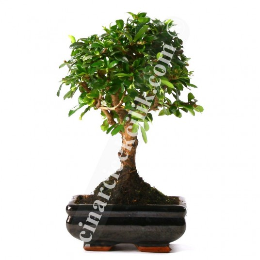 Bonsai Cormano Ağaç