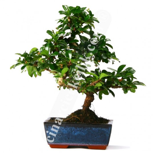 Bonsai Cormana Ağaç (Orta Boy)