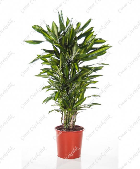 Çelik Drecina Saksı Çiçeği C-SAK158
