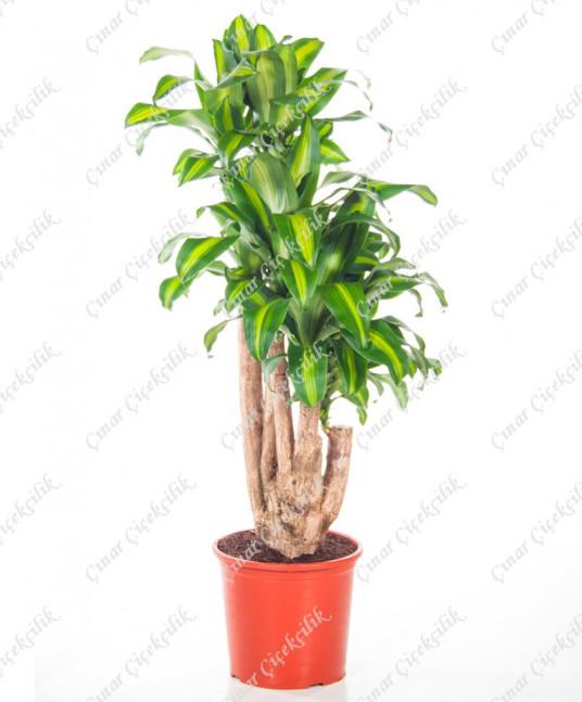 Çevik Massangeana Saksı Çiçeği C-SAK143