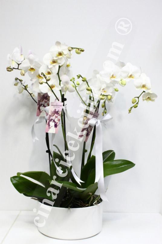 Dört Köklü Beyaz Orkide C-OR119