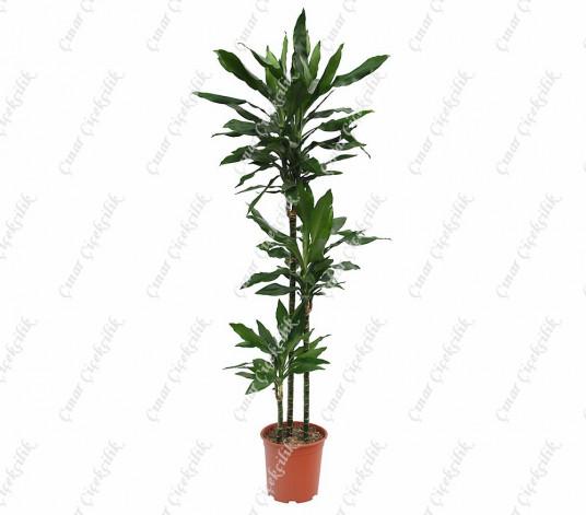 Drachenbaum Janet 3lu Saksı Çiçeği C-SAK182