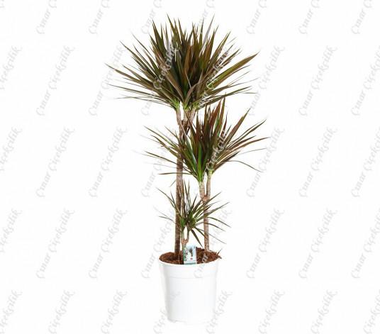 Drachenbaum Magenta Tuff 3'lü Saksı Çiçeği C-SAK184
