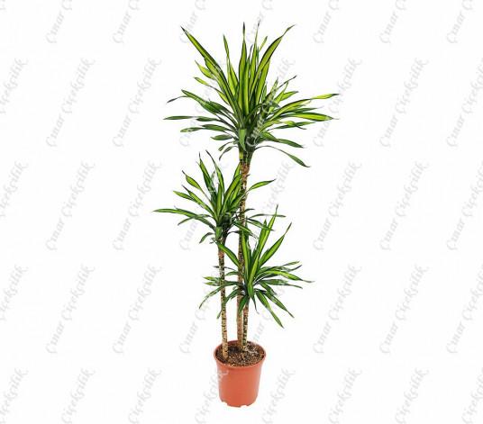 Drachenbaum Drac 3lu Saksı Çiçeği C-SAK185
