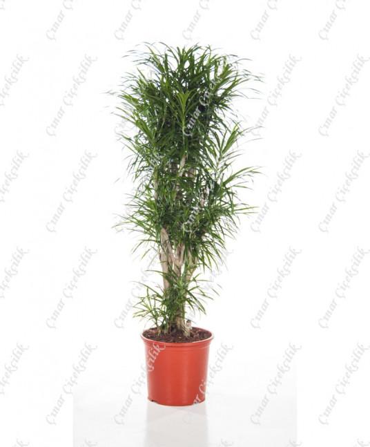 Drecina Jemaika Saksı Çiçeği C-SAK167
