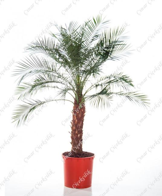Fenix Rubbelini Saksı Çiçeği C-SAK154