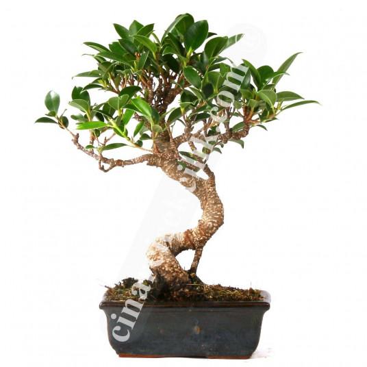 Ficus Bonzai Ağaç