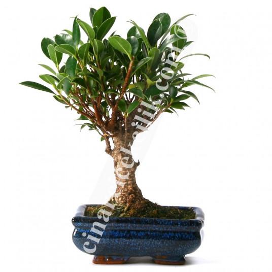 Bonsai Ficus Ağaç