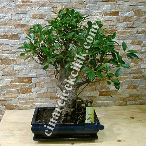 Ficus Bonsai 50 cm Kare Saksı