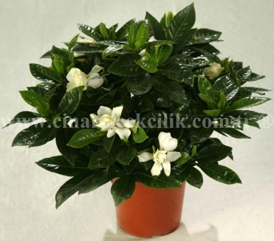Beyaz Kokulu Gardenya C-GAR109