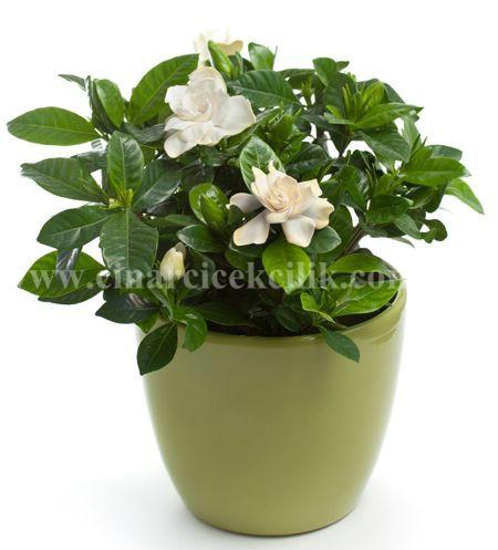 Gardenya Çiçek Sepeti C-GAR103