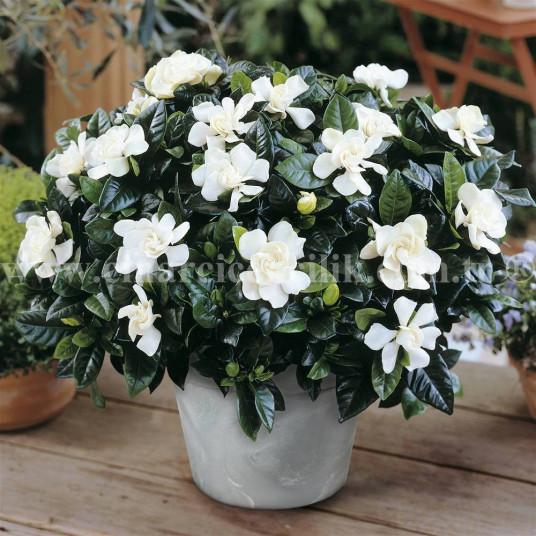 Kokulu Gardenya Çiçeği C-GAR101