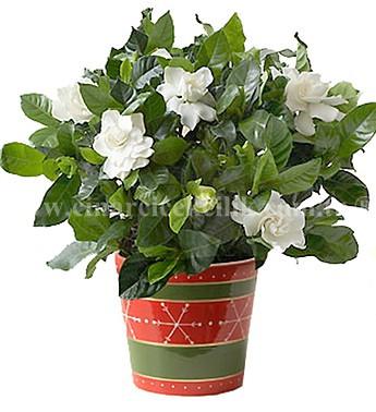 Güzel Kokulu Gardenya Çiçeği C-GAR105