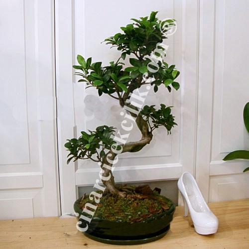 Ginseng Bonsai Ağacı