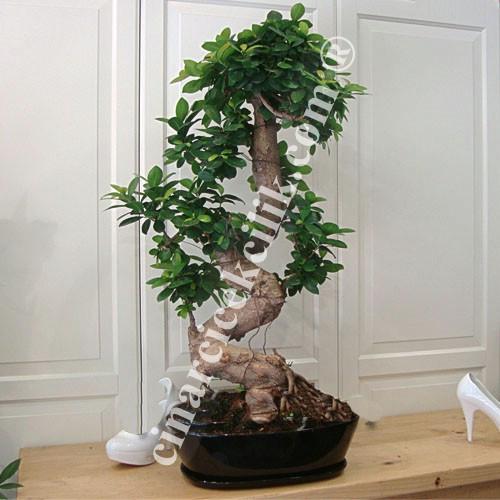 Ginseng Bonsai Ağaç
