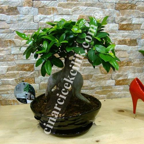 Ginseng Siyah Seramik Bonsai 40 cm