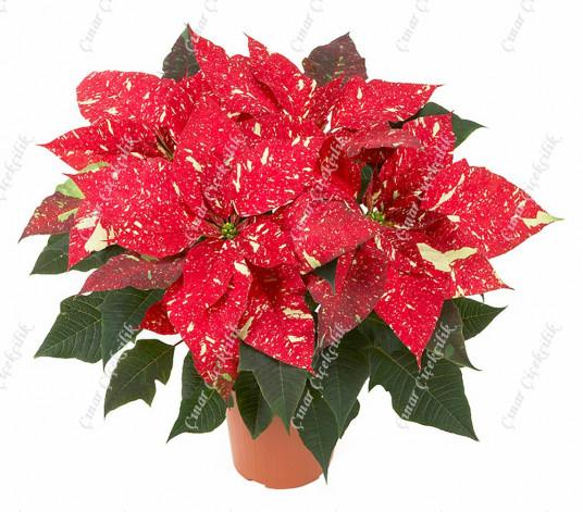 Kırçıllı Kırmızı Atatürk Çiçeği C-SAK135