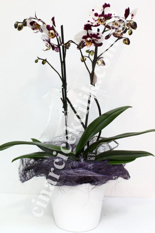 Pembe Kırçıllı İkili Orkide C-OR145