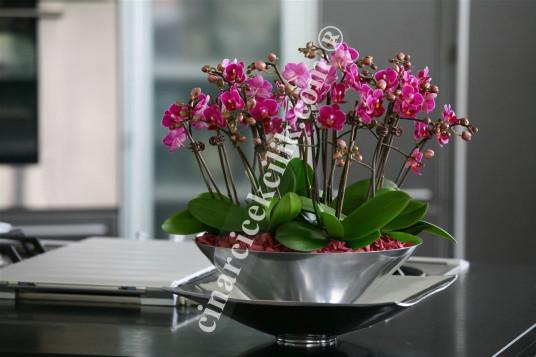 Sekiz Köklü Pembe Lüx Orkide C-OR150
