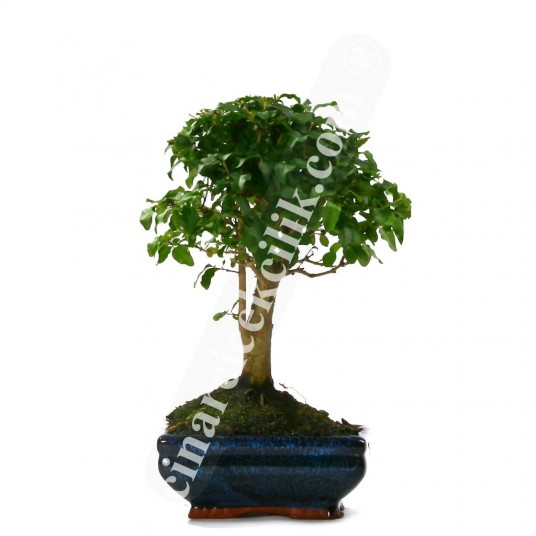 Ligustrum Bonsai Ağaç