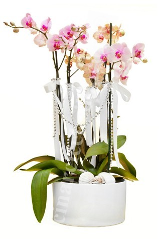Pembe Turuncu Dört Köklü Orkide C-OR109