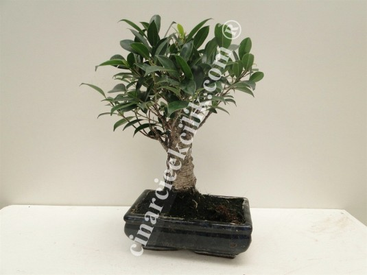 Pagano Bonsai Ficus Retusa
