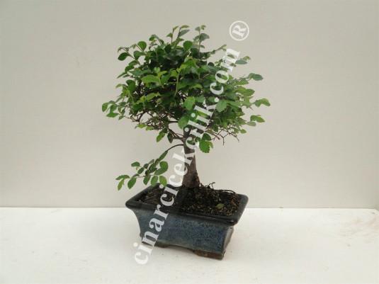 Pagano Bonsai Zelkova Ağacı