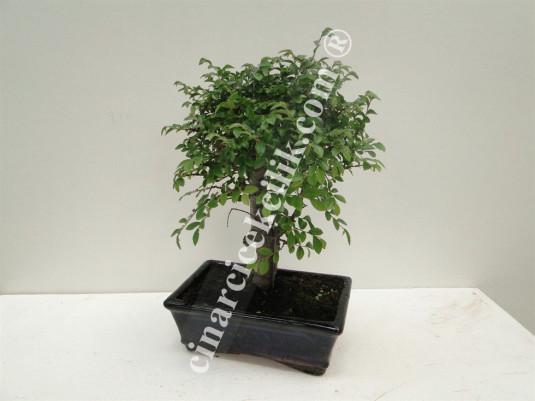 Pagano Bonsai Ağacı Zelkova