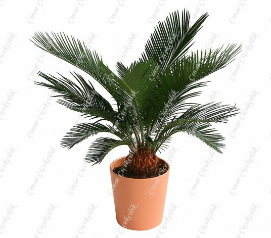 Palmfarn Cycas Saksi Çiçegi C-SAK169