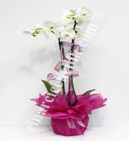 Beyaz İki Kök Orkide C-OR118